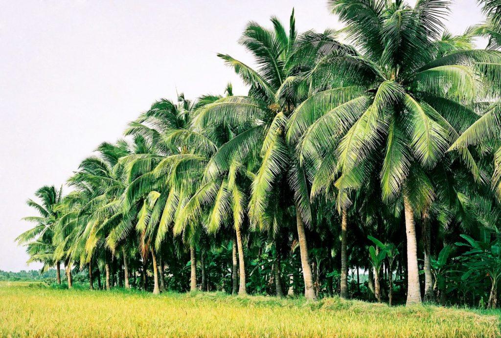 Visiting coconut paradise Ben Tre